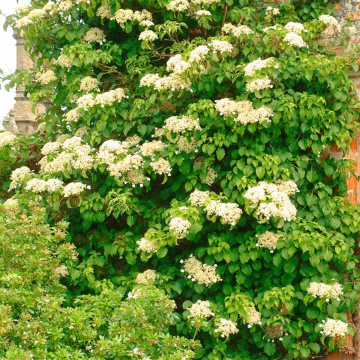 Hydrangea Anomala petiolaris ortensia rampicante