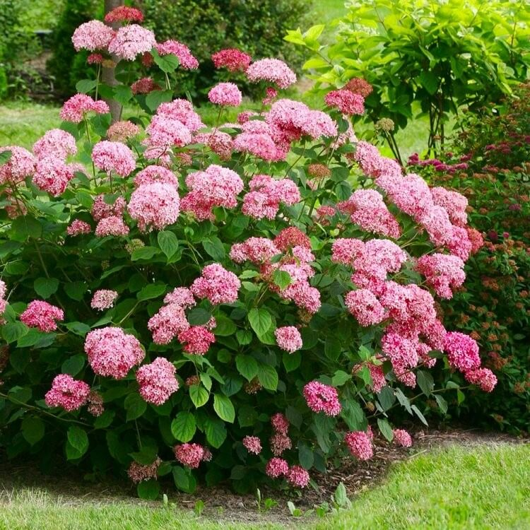Hydrangea Arborescens annabelle ortensia arbusto fiori