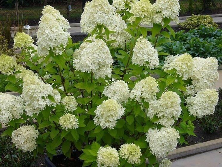 Hydrangea Paniculata ortensia fiori a pannocchia