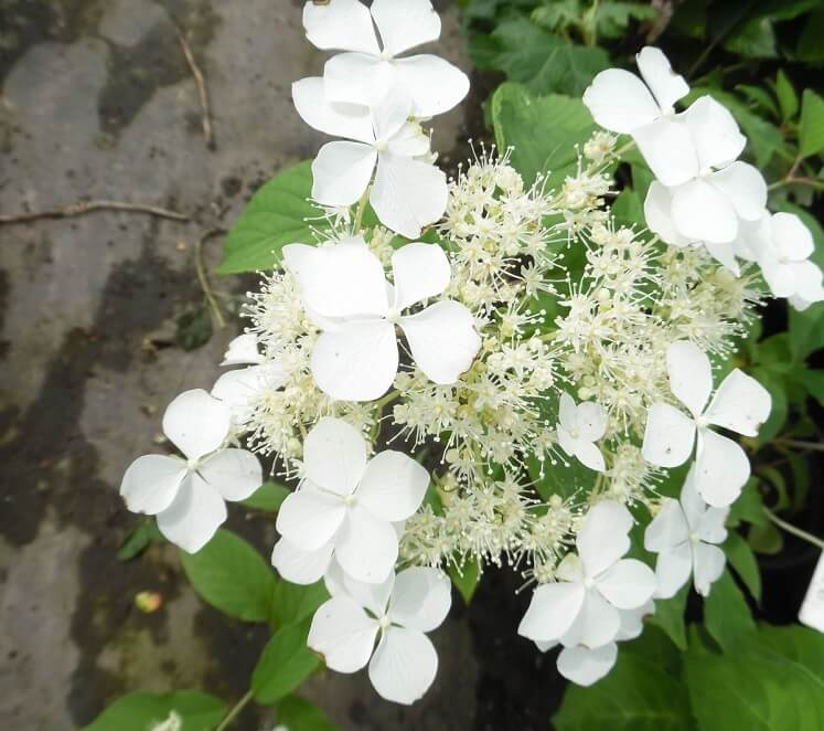 hydrangea-heteromalla snowcap ortensia