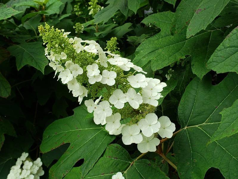 hydrangea quercifolia ortensia con foglie a quercia