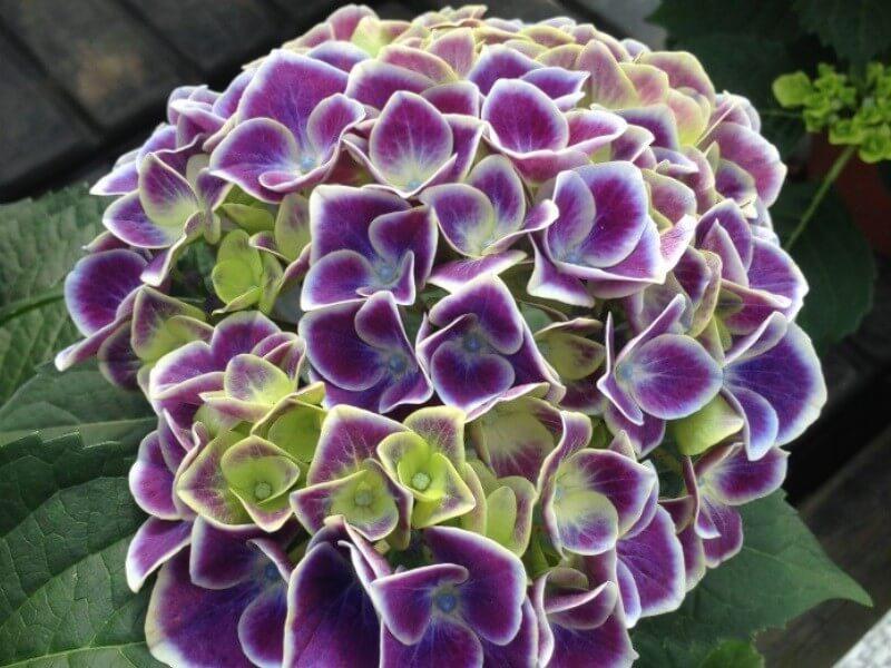 hydrangea_macrophylla_new_tivoli_bleu_ortensia fiore