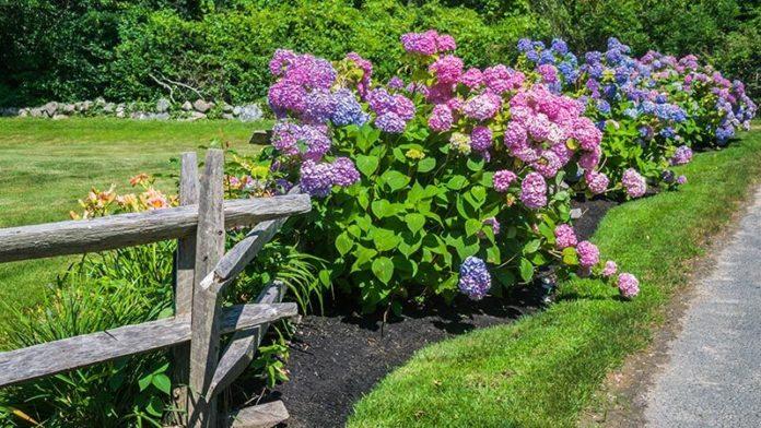 varietà e specie di ortensie comuni e belle fiori