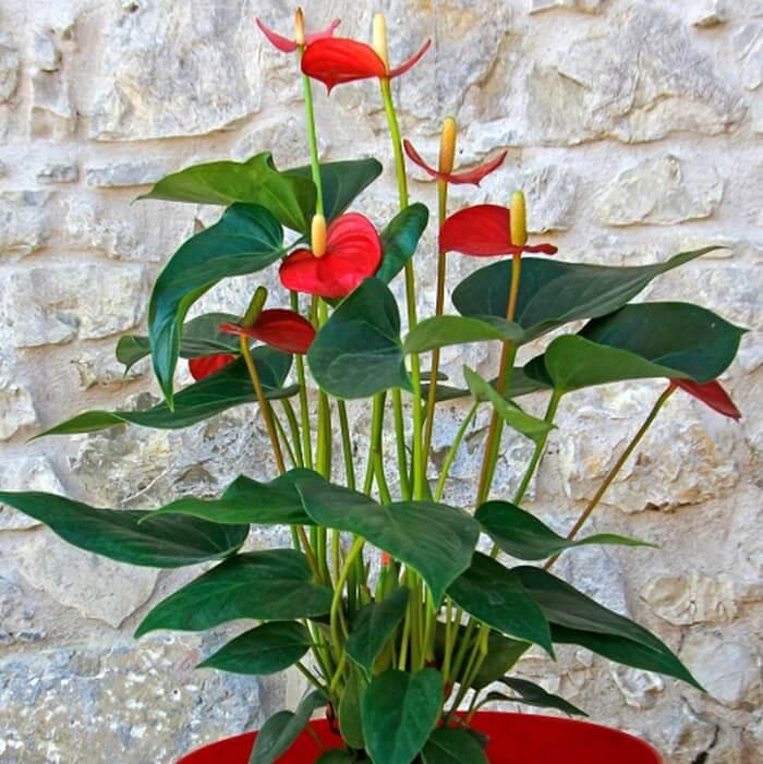 Anthurium pianta in vaso