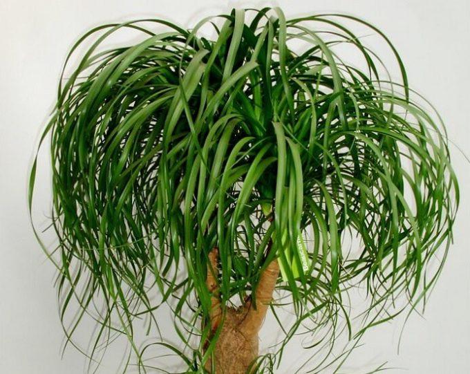 Beaucarnea recurvata pianta in vaso coltivazione