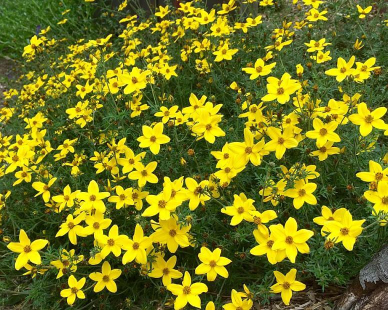 Bidens - Bidens ferulifolia - Coltivazione e cura