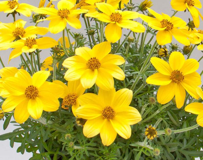Bidens ferulifolia coltivazione e cura fiore
