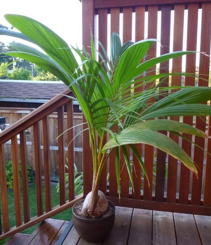 Cocos nucifera palma da cocco in vaso coltivazione