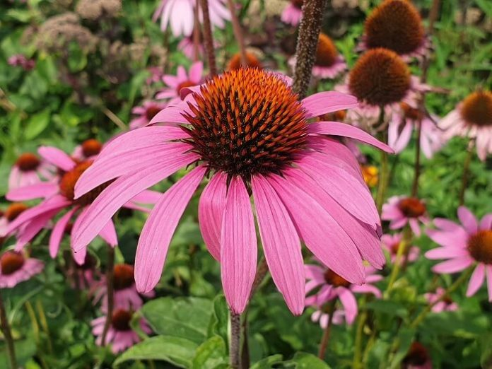 Echinacea purpurea fiore perenne