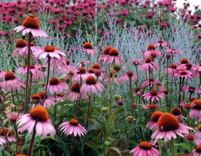 Echinacea purpurea pianta da fiore perenne