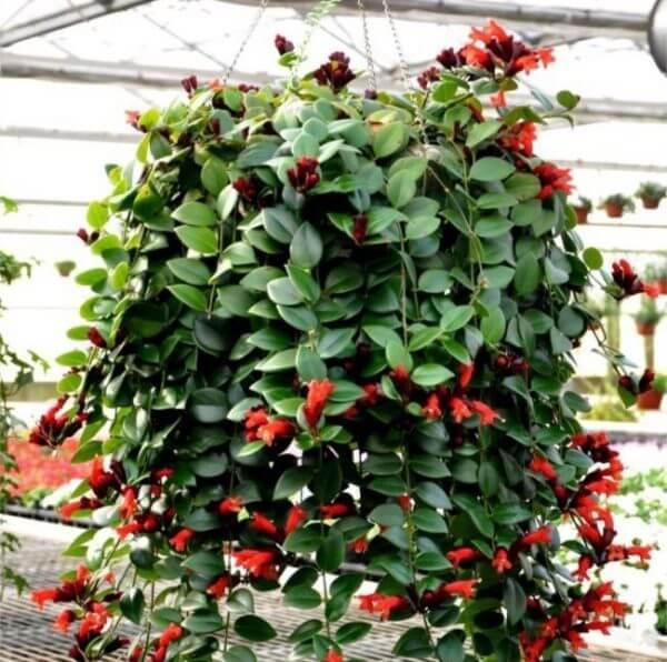 Eschinanto colomnea escinato pianta da fiore da interno