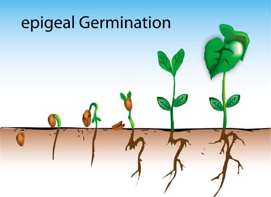 Germinazione di un seme epigeo
