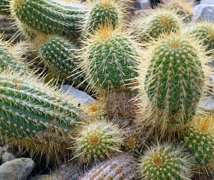 Le cactacee desertiche - Echinopsis