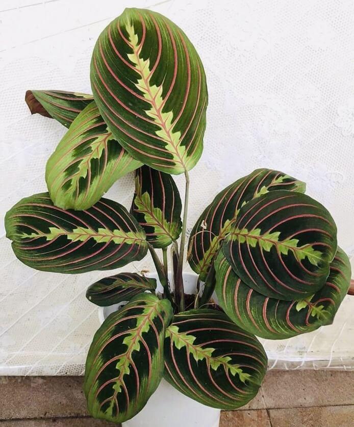 Maranta leuconeura coltivazione e cura della pianta in vaso consigli