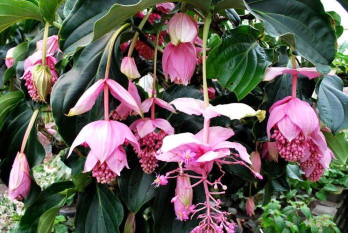 Medinilla magnifica coltivazione e cura in vaso consigli