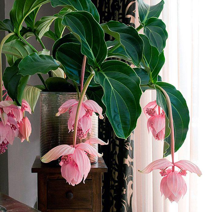 Medinilla magnifica coltivazione e cura in vaso consigli facili