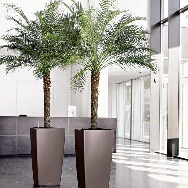 Phoenix canariensis palma delle canarie coltivazione e cura in vaso