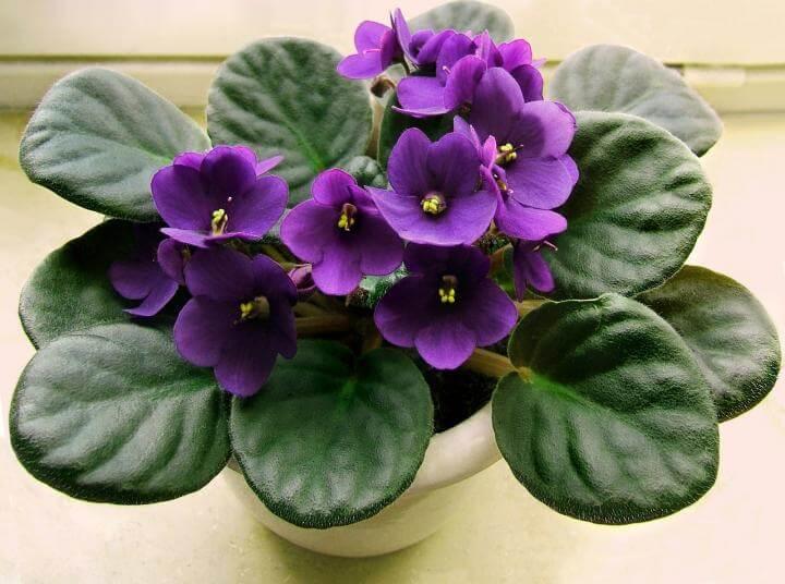 Saintpaulia ionantha violetta africana coltivazione e cura consigli
