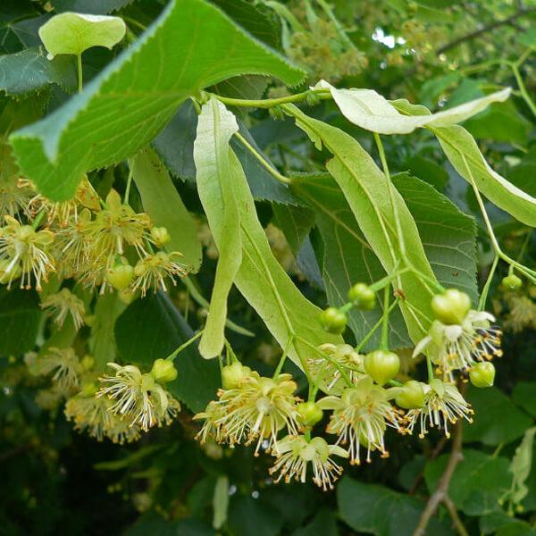 Tilia platyphyllos fiori tiglio nostrano