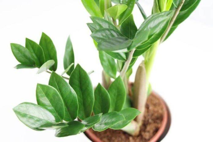 Zamioculcas coltivazione e cura in vaso consigli