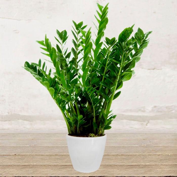 Zamioculcas coltivazione e cura in vaso