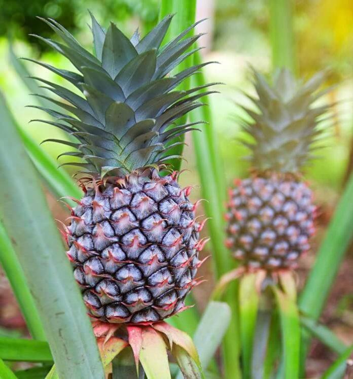 ananas-comosus ananas pianta coltivazione e cura