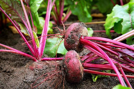 barbabietola coltivazione orto terreno adatto