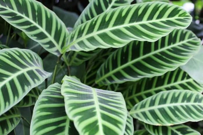 calatea pianta da interno in vaso Calathea cura e manutenzione