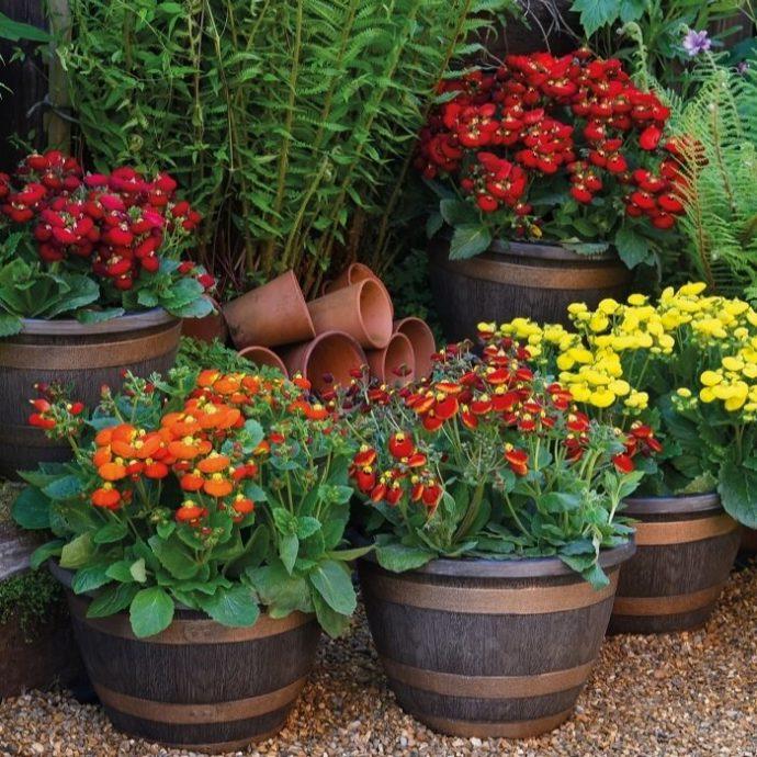 calceolaria-in-vaso-coltivazione-e-cura-consigli