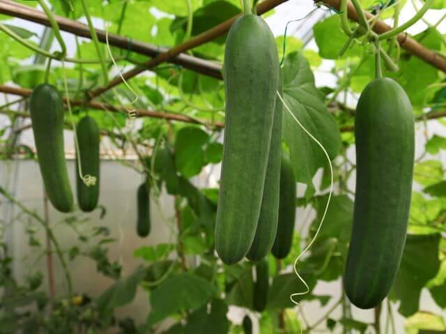 cetriolo pianta rampicante orto balcone