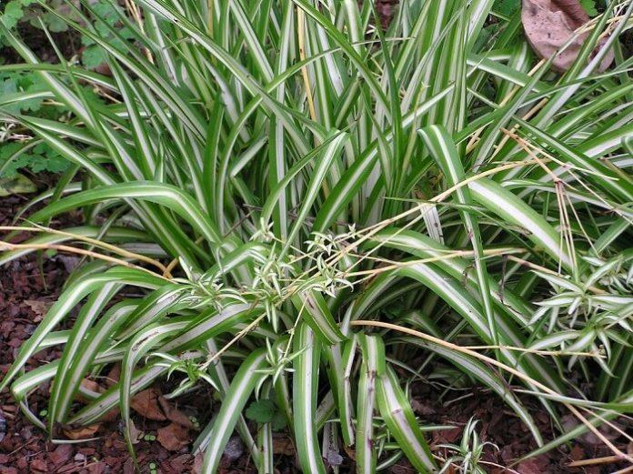 clorofito nastrino coltivazione e cura pianta in vaso