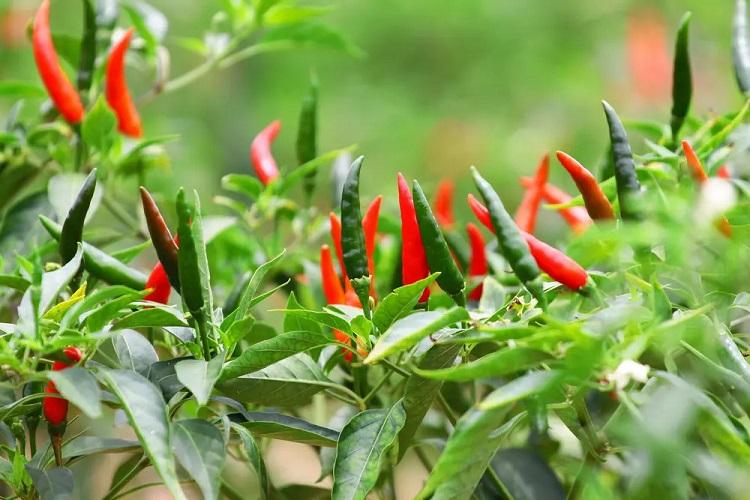 coltivare-peperoncino-piccante-consigli-tecniche