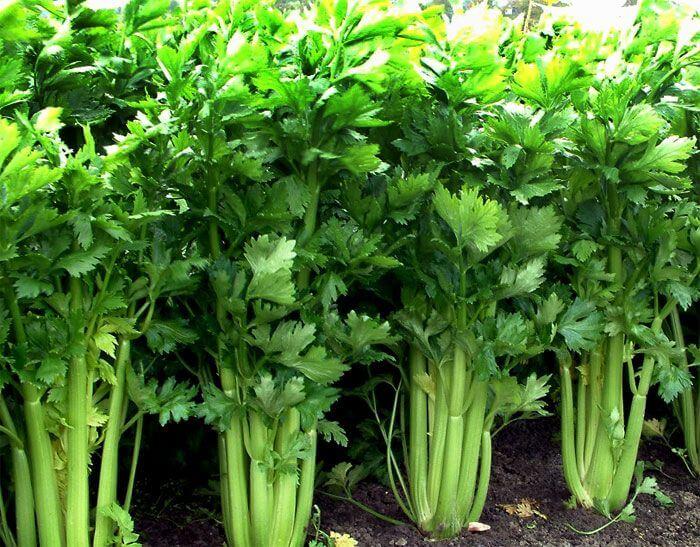 coltivazione del sedano a costa trucchi cure consigli orto