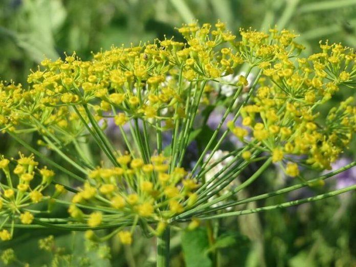 come coltivare aneto Anethum graveolens