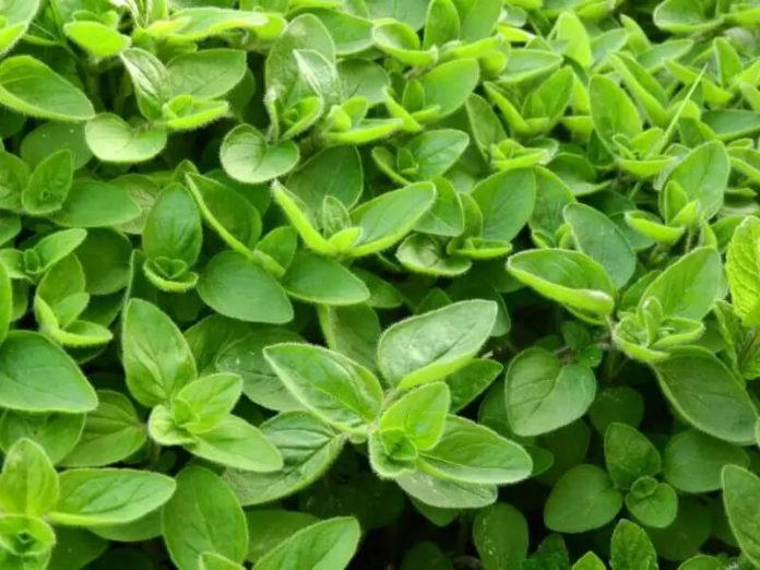 come-coltivare-la-maggiorana-orto-terrazzo-balcone-consigli