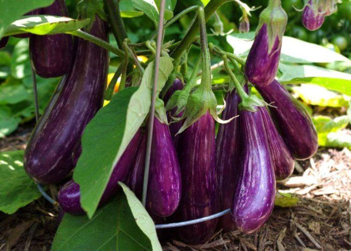 come coltivare la melanzana in orto consigli e cure