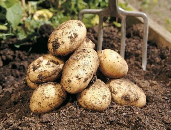 come coltivare la patata nell'orto