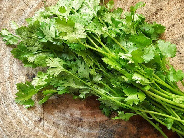 coriandolo erba aromatica coltivare