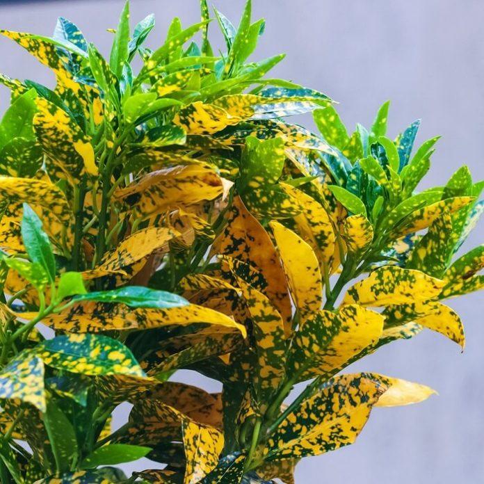 croton coltivazione e cura in vaso