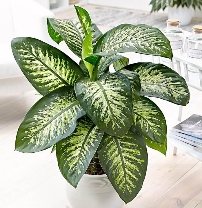 dieffenbachia pianta coltivazione e cura in vaso consigli