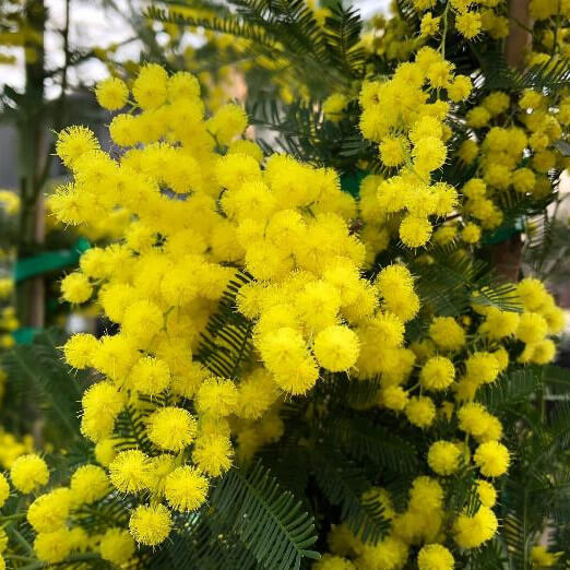 fiore mimosa Acacia dealbata