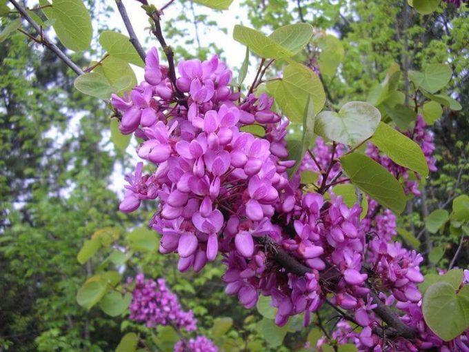 fiori albero di giuda - Cercis siliquastrum