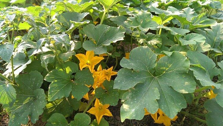 fiori di zucca coltivazione
