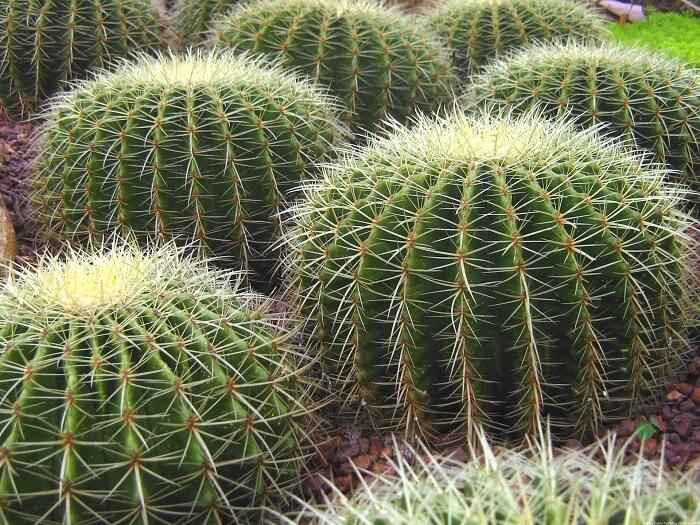 il fusto carnoso delle piante grasse