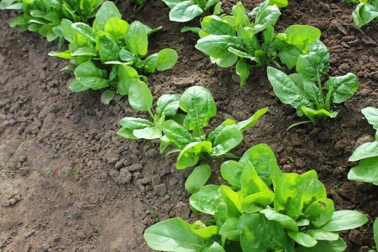 impiantare seminare spinaci orto