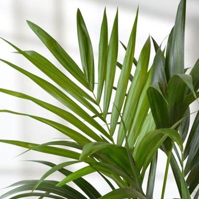 kenzia pianta coltivazione e cura in vaso