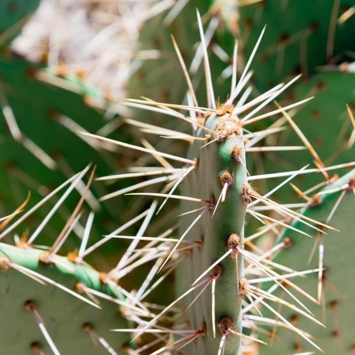 le spine dei cactus