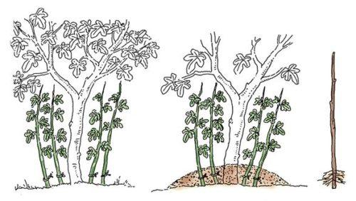 moltiplicazione piante per pollone