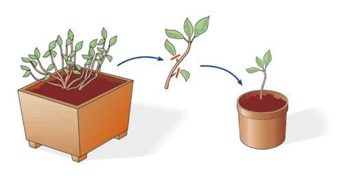 moltiplicazione piante per talea