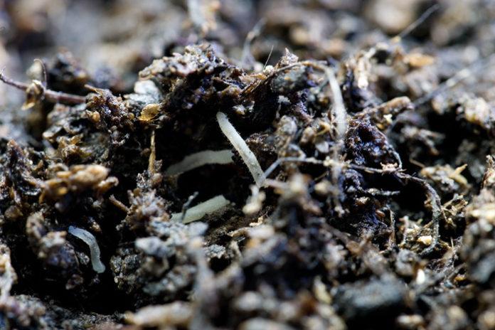 nematodi sintomi cure e rimedi per l'orto